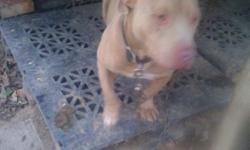 Beautiful Red nose Pitbull to a good home, reason for selling is because I have two more pitbulls and three is too many. Well cared for and gentle. short stocky red coat all the way with white chest full blood Hedoes not have papers. -- Not a