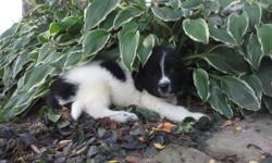 Hello, I'm Ricky, the coolest Male AKC Newfoundland you ever gonna meet! I was born on June 6th, 2016. I tend to compliment on my soft, black and white fluffy fur! They're asking $1199.00 for me! I'll come home with shots and worming to date! If you