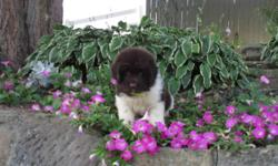 Hi! I'm Riley, the cheerful brown and white male Newfoundland AKC!I love to play, run and get all the loving attention I can get.I was born on June 14, 2016.They're asking $1199.00 for me! I'll come home with shots and worming to date.