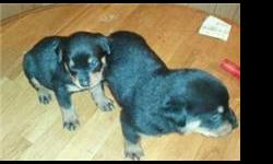 Male and female Rottweiler puppies born on 11/23/2010. Both parents are full blooded German Rottweilers. Tails docked upon request. Puppies will be available Mid January. Taking deposits. Serious inquiries only.