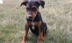 Meet Roxy! She is an black and tanRottweilerfemale. She will fill your home with kindness and love. She was born on May 29, 2016. She loves to play with toy and can't get enough attention. She is great around children and other family pets.