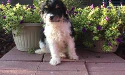 Hello! I'm Sailor, the handsome tri-color male Papipoo! I was born on June 4, 2016.. My moma is 15 lb Papillonand my papa is a 10 lb mini poodle.I'll come home with you shots and worming to date!They're asking$495.00for