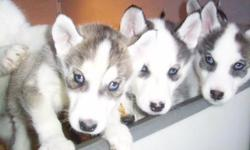 Dans Kennel..> on Classified Ads.com..> has HUSKY 'Puppy for Sale'..> BLUE EYES..> AKC ..> near Buffalo NY ..> licsensed with NYS..>PD#0003