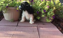 Hello There! My name is Sierra! the sweet black and white female Papipoo! I was born on June 4, 2016.. My moma is 15 lb Papillon and my papa is a 10 lb mini poodle.They're asking$495.00for me! I'll come home with you shots and worming to date! I