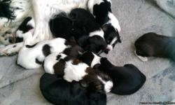 Springer spaniel puppies born on 11/25/12. Black and white, liver and white, 2 tri coloreds. 7 females and 2 males. 350 for females 300 for males. bred for hunting. 100 deposit to pick and hold a puppy. Located in Buffalo MN, dew claws removed and tails
