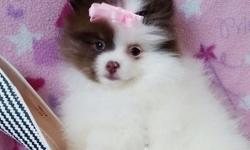 Teacup Pomeranian Puppies, AKC registered, quality male /female, have all shots, 11 weeks old , $250-$350. Call or Text 636-283-0794