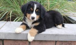 This is Teddy, he is a gorgeous tri-color male AKC Bernese Mountain Dog! This little one is playful, loves to play fetch and getting his tummy rubbed. He was born on June 3, 2016. His momweighs85 lbs and is AKC registered. His dad weighs 95