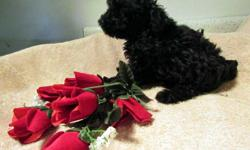 CKC Registered Toy Poodle puppies available. Will be small. Black with some white markings. Very sweet. Ready to go now. Up to date on shots and deworming.