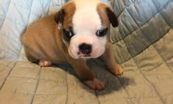 Rarely seen beautiful TRI COLORED Boston Terrier babies. Both are male, registered, with dew claws done. They will also have theirfirst shots. They were born on July 8th andwill be ready for you on September 3rd. I have both of the proud
