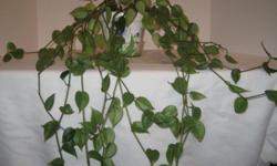 Moving to Peru. Everything must go. This is a unknown vine, well established and growing to a beautiful plant. Started out as a very small sprig and has grown to the you see in the photo in a years time. Now $15.00.