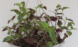 Moving to Peru. Everything must go. Prices reduced. I have a Wandering Jew hanging basket for sale $8.00. The plant has been growing in this pot for 9 months and is very healthy and well established.
