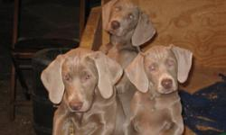 Weimaraner puppies. AKC. 2 females, 2 sets of shots, vet checked, clean health certificates, Ready now!! 716-982-2275